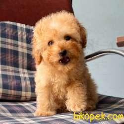 Toy Poodle Disi Yavrularımız