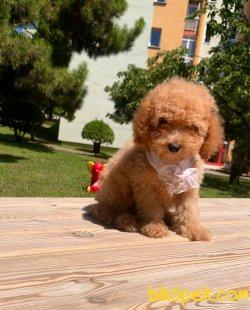 Toy Poodle Mini Boy Yavrular