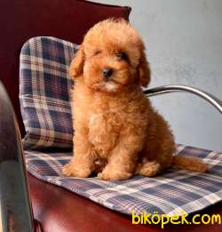Toy Poodle Mini Boy Yavrular 2