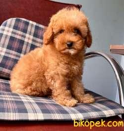 Toy Poodle Mini Boy Yavrular 3