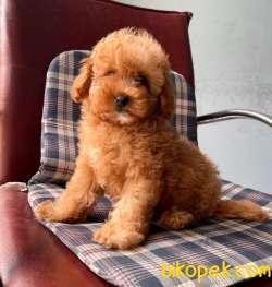 Toy Poodle Mini Boy Yavrular 1