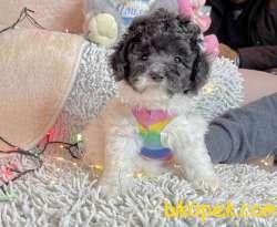 Toy Poodle Nadir Silver Beyaz Yavrumuz
