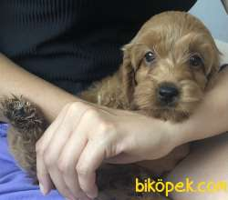 Toy Poodle Red Brawn
