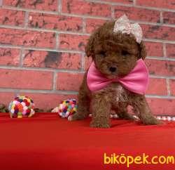 Toy Poodle Red Brown Disi Yavrularımız