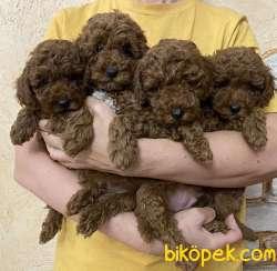 Toy Poodle Red Brown Safkan Asili Eğitimli Yavrularımız
