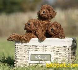 Toy Poodle Red Brown Safkan Belgeli Yavrularımız