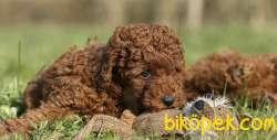Toy Poodle Red Brown Safkan Belgeli Yavrularımız 3