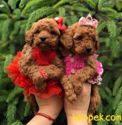 Toy Poodle Red Brown Teacup Yavrularımız