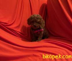 Toy Poodle Red Brown Yavrularımız 5