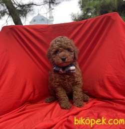 Toy Poodle Red Brown Yavrularımız