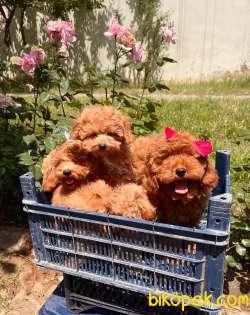Toy Poodle Red Safkan Asilari Tam Garantili Yavrular