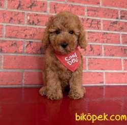 Toy Poodle Red Tüm Asilari Yapılmış Tuvalet Eğitimi Var