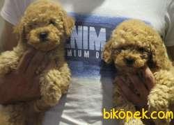 Toy Poodle Redbrown Orjinal Safkan Garantli 2