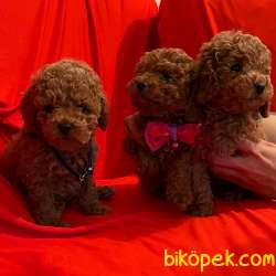 Toy Poodle Safkan Belgeli Her Renk Yavrularımız 2