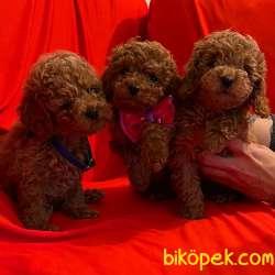 Toy Poodle Safkan Belgeli Her Renk Yavrularımız 1