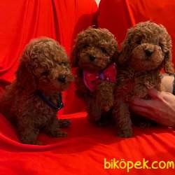 Toy Poodle Safkan Belgeli Her Renk Yavrularımız 3