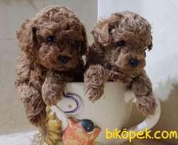 Toy Poodle Safkan Belgeli Mini Yavrularımız