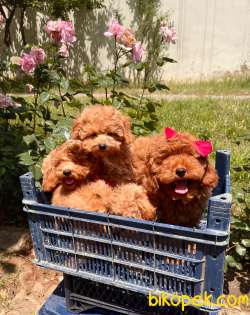 Toy Poodle Safkan Mini Asili Eğitimli Sağlıklı Yavrularımız