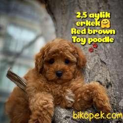 Toy Poodle Safkan Yavru Oğlumuz Çokomel / Yavrupatiler