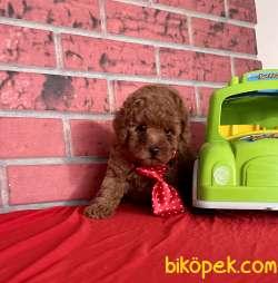 Toy Poodle Safkan Yavrularımız