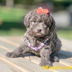 Toy Poodle Silver Mavi Gözlü Çok Nadir Yavrularımız