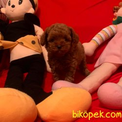 Toy Poodle Teacup Red Brown Asili Mikrocipli Yavrular