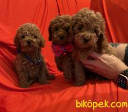 Toy Poodle Teacup Red Brown Yavrular