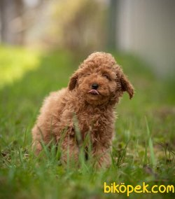 Toy Poodle Teacup Yavrular  En Küçük Boy Safkan Belgeli