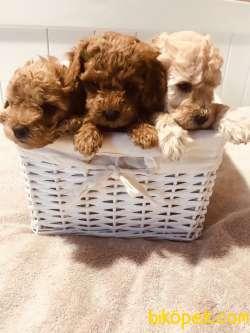 Toy Poodle Teacup Yavrularımız