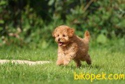 Toy Poodle Teacup Yavrularımız Mikrocipli Safkan Belgeli