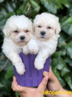 Toy Poodle ( White)