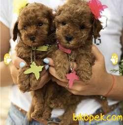 Toy Poodle Yavrularımız Irk Ve Sağlık Garantili