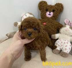 Toy Poodle Yavrularımız Orjinal Safkan