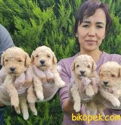 Toy Poudle Orjinal Yavrular Ailenizin Köpeği