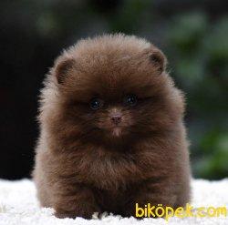 TR'de Daha İyisi Yok Brown Pomeranian Yavrularimiz