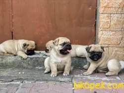 Tükiye Nin En Garantili Pug Yavruları