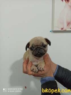 Tükiye Nin En Garantili Pug Yavruları 1