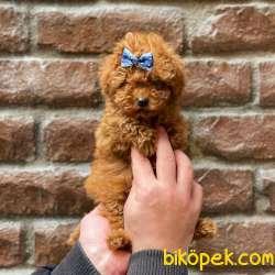 Tüm Renk Çeşitleri Ile Toy Poodle Yavrularımız