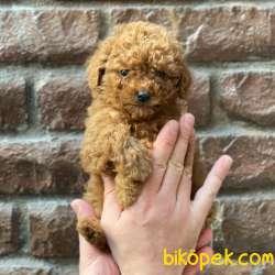 Tüm Renk Çeşitleri Ile Toy Poodle Yavrularımız 5