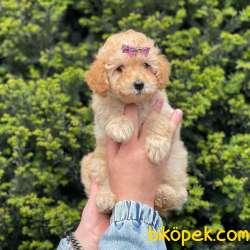Tüm Renk Çeşitleri Ile Toy Poodle Yavrularımız 2