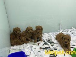 Ultra Kalite Toy Poodle Yavrularımız