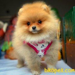 Üretim Belgeli Secereli Pomeranian Boo Yavrularımız