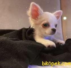 Uzun Tüylü Dişi Chihuahua 2