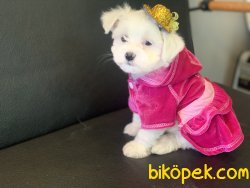 Veteriner Kliniğinden Mini Maltese Terrier Yavrularımız