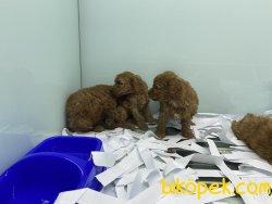 Veteriner Kliniğinden Red Toy Poodle Yavrularımız