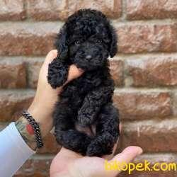 Veteriner Teknikerinden Irk Ve Sağlık Garantili Black Toy Poodle