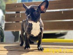 Wc Eğitimli French Bulldog Yavrumuz