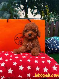 Ücretli Wc Eği̇ti̇mli̇ Özel Renk Poodle Yavrular 1