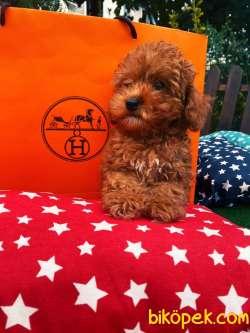 Ücretli Wc Eği̇ti̇mli̇ Özel Renk Poodle Yavrular 2