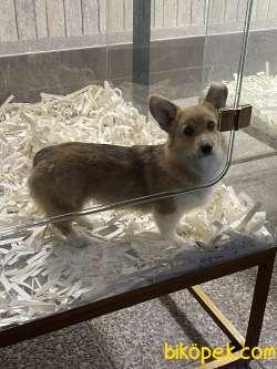Welsh Corgi Kraliyet Ailesi Köpeği ÖZel Irk
